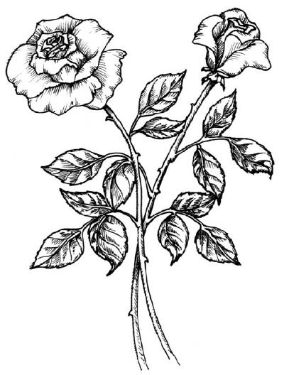 Mewarnai Bunga Mawar Dengan Pensil Warna Collection Images