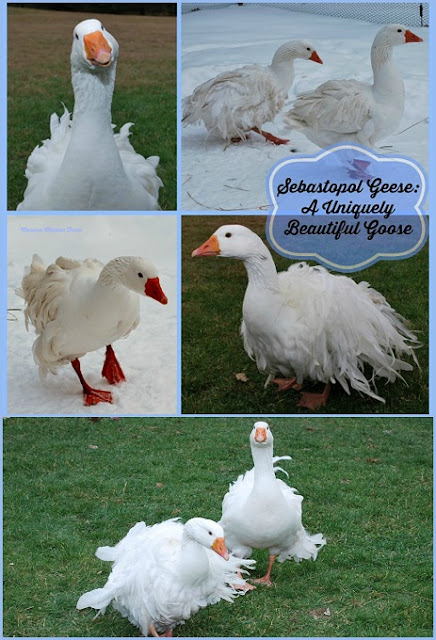 Sebastopol geese | curly feathers