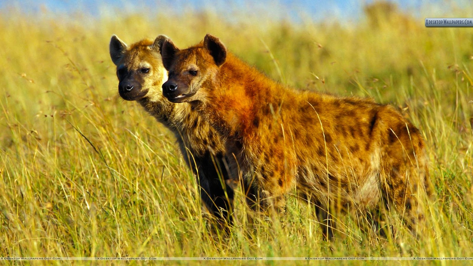 Cute Chow Chow Wallpapers Hyena Pictures And Wallpapers Animals Library