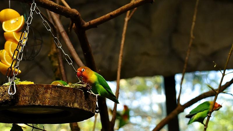 Tips Merawat Lovebird Pemula