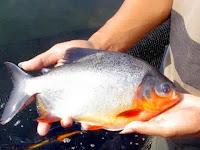 Resep Pembuatan Umpan Untuk Ikan Bawal