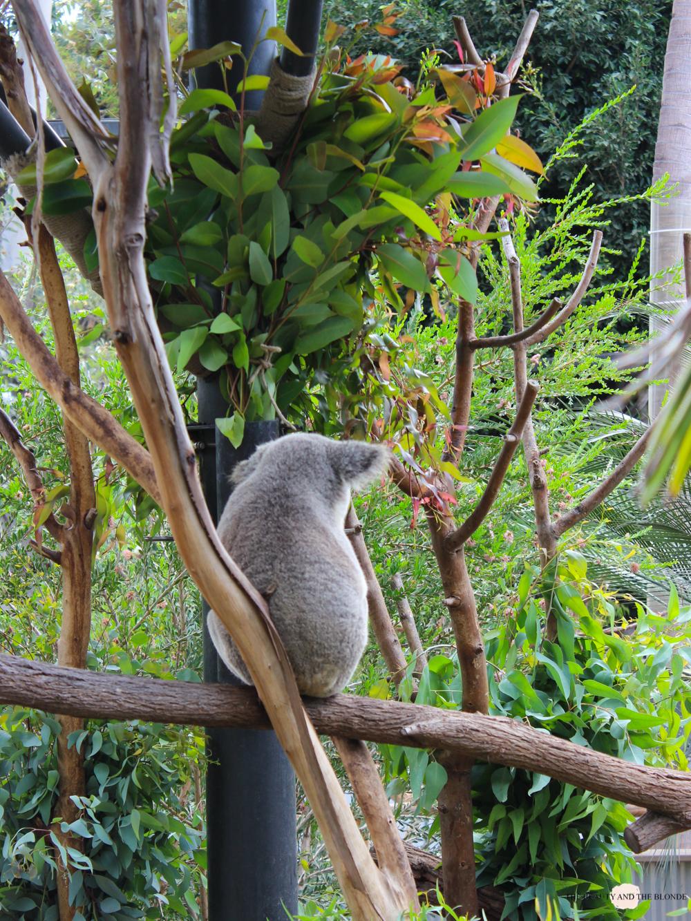 San Diego Zoo Koala Westcoast USA Roadtrip