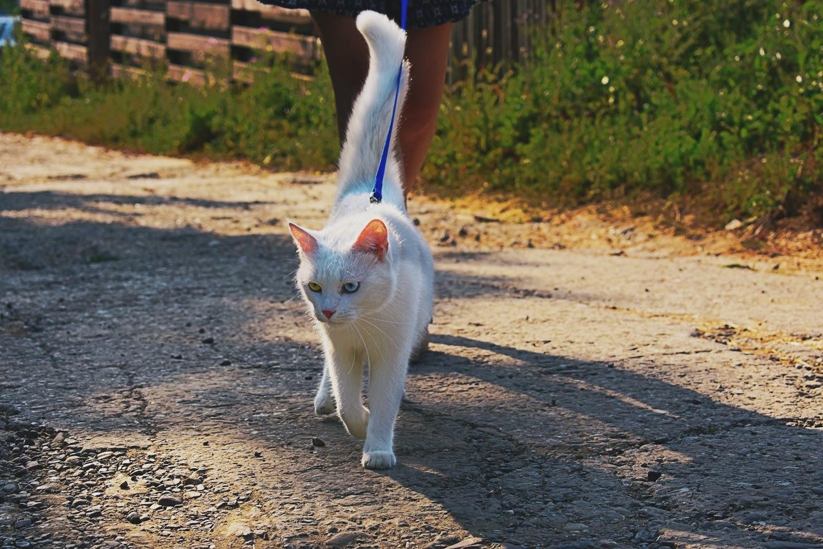 Cat to Walk