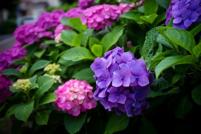 para que las flores de hortensia azules se vuelvan de color rosa es necesario el contrario a lo que hemos visto en el punto anterior bajar el