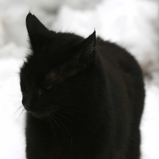 a black cat in the snow photo