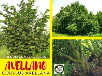 Avellano común, Corylus avellana, es un arbusto que no sobrepasa los 6 m. de altura. Descripción y sus usos.