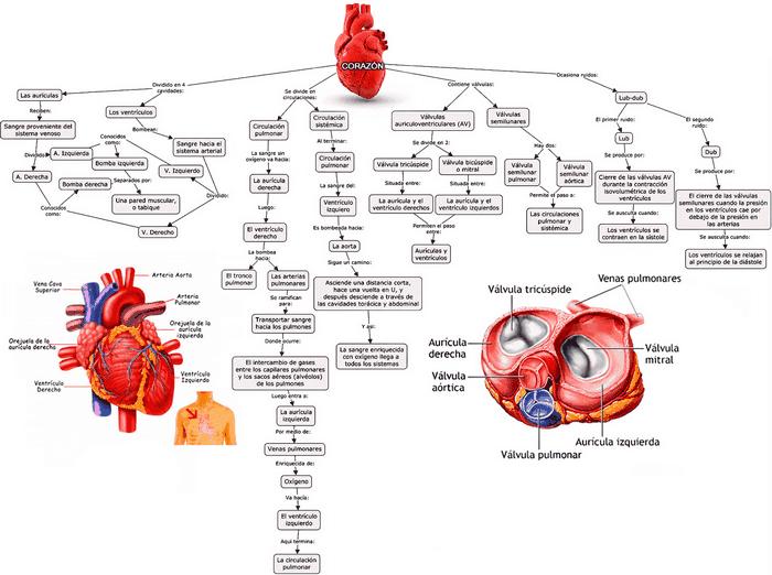 imagen de mapa conceptual del corazón