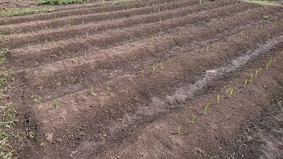 1期目に植え付けたニンニクが発芽