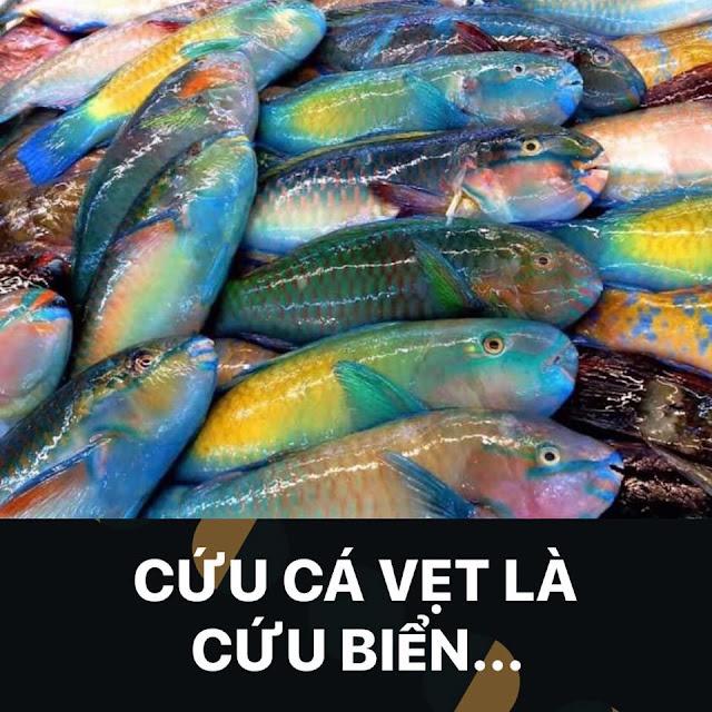 Cứu cá Vẹt là cứu biển, hãy tha cho loài cá Vẹt