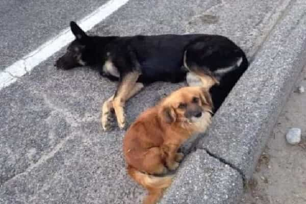 Dedicated Canine Protects The Expecting Dog From 11 Puppies Until The Rescue Arrives