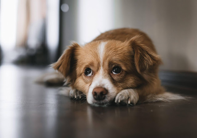Why Do Dogs Whine?: Understanding the Different Whining Behaviors in Dogs