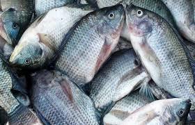 Kelebihan dan Kekurangan  Usaha Budidaya Ikan Gurame