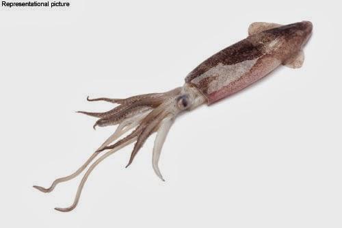 squid facts