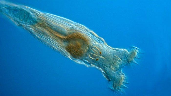 10 Organisme atau Makhluk Hidup yang Mampu Bertahan Hidup Di Tengah Kondisi Esktrem, Bdelloid Rotifera