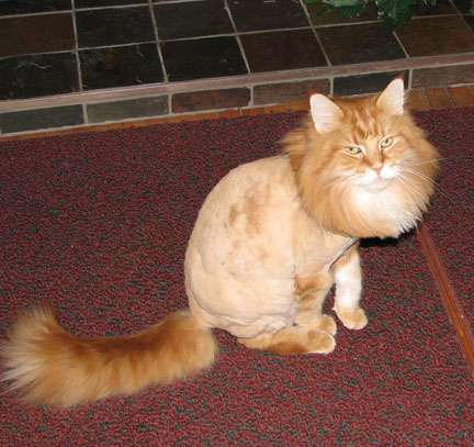 pics obsession funny cat haircut