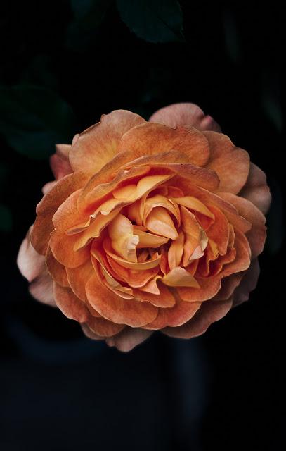 خلفيات ورود جميلة جدا صورة وردة جميلة 14