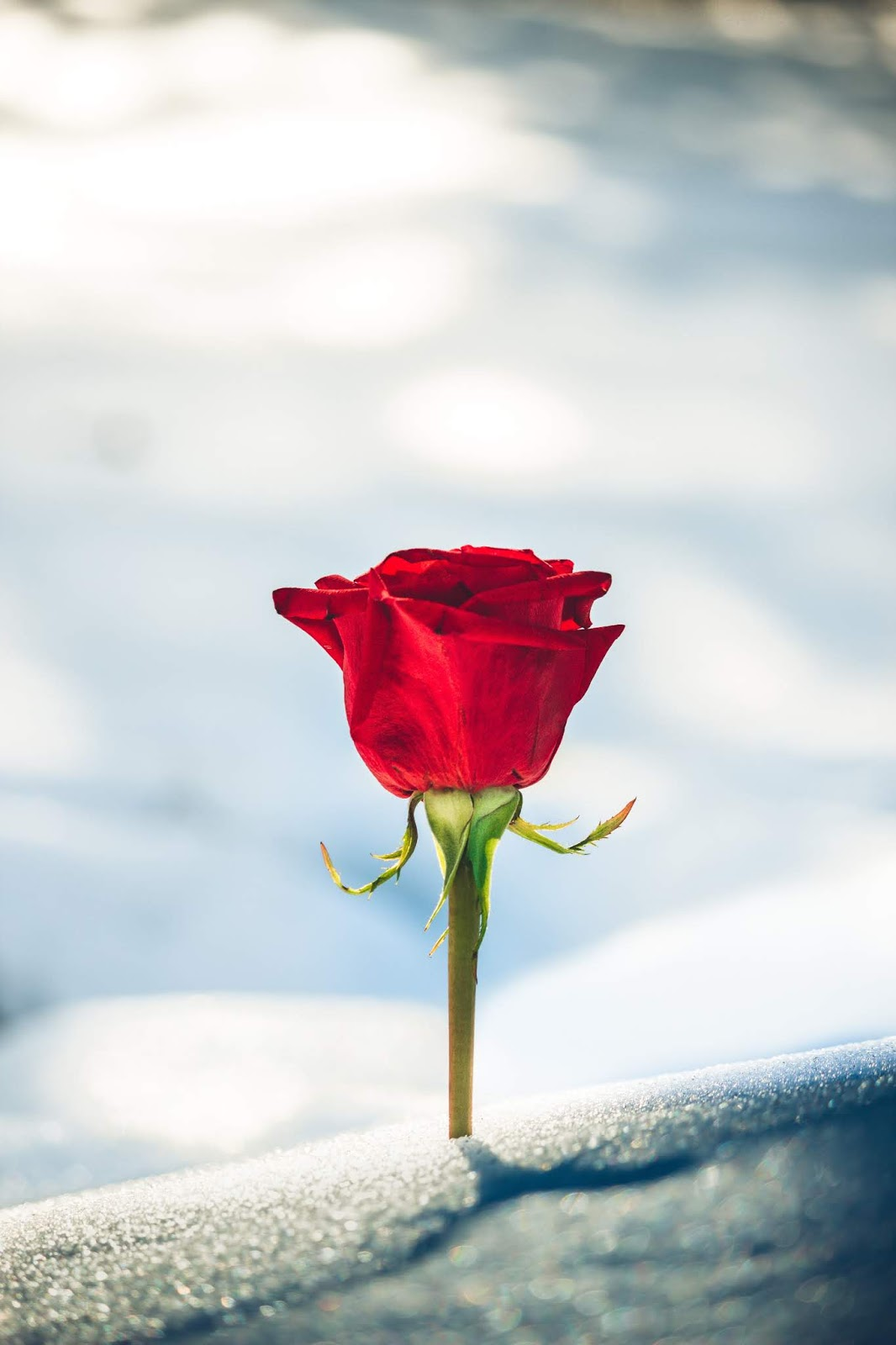 red rose flower in sky view, rose images