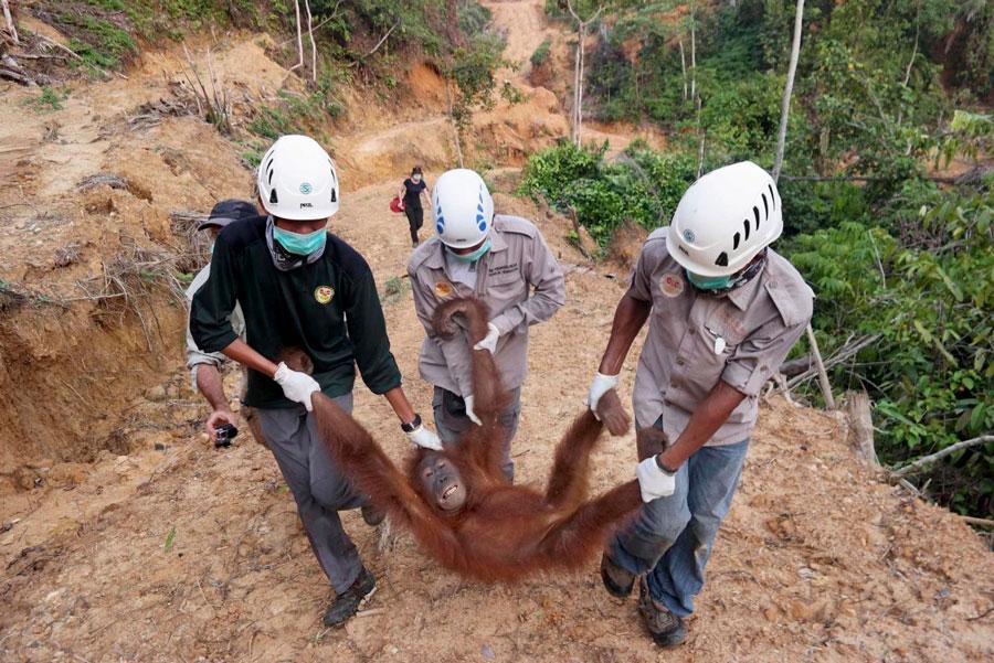 Orangután aceite palma
