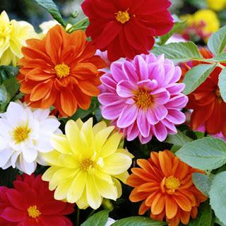 bunga-dahlia-mojokerto