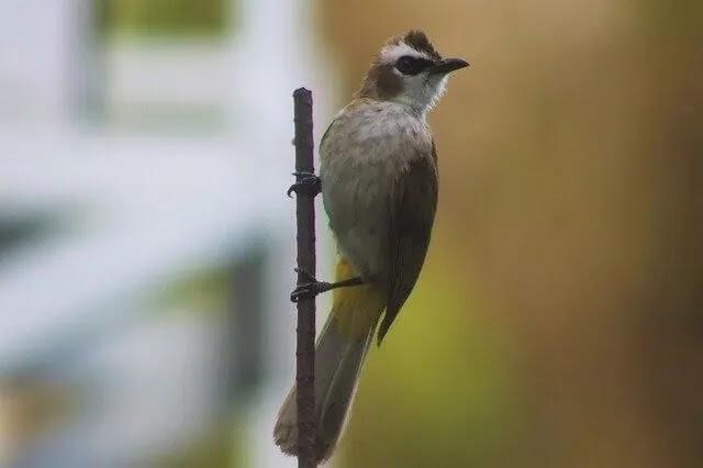 Ciri Fisik Burung Trucuk Jantan