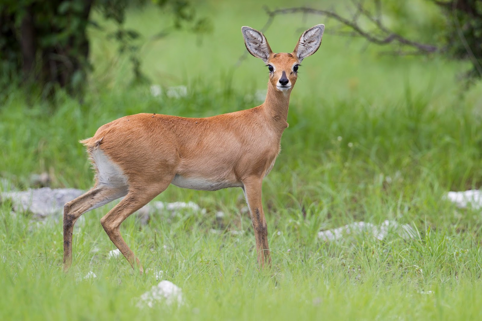 Mammals Animals: Raphicerus campestris female