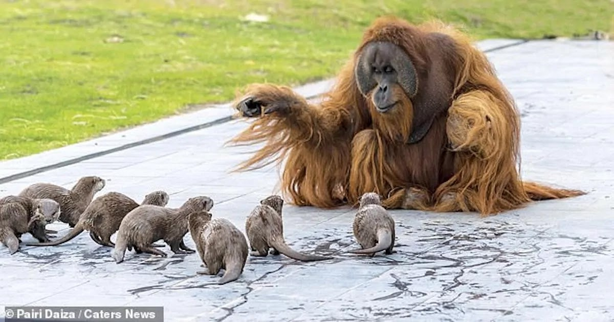 Stunning Images Show Orangutan Family Playing Together With Their Otter Friends At A Conservation Park In Belgium