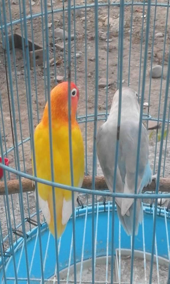 Ciri Ciri Lovebird Lutino Mata Hitam Dan Harganya Peternakan Dan Perkebunan