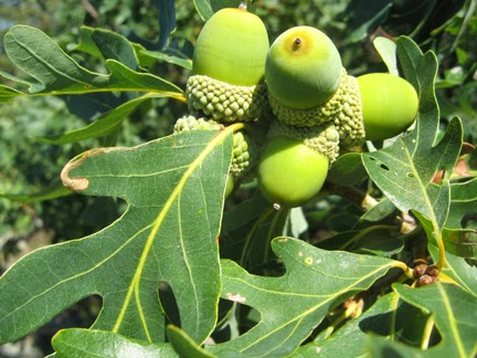 White-Oak Acorns