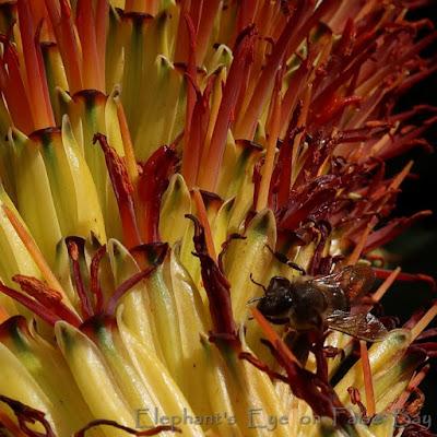 Bee on Aloe marlothii