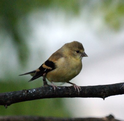 Wild Birds Unlimited: Watch and listen for Baby Goldfinches