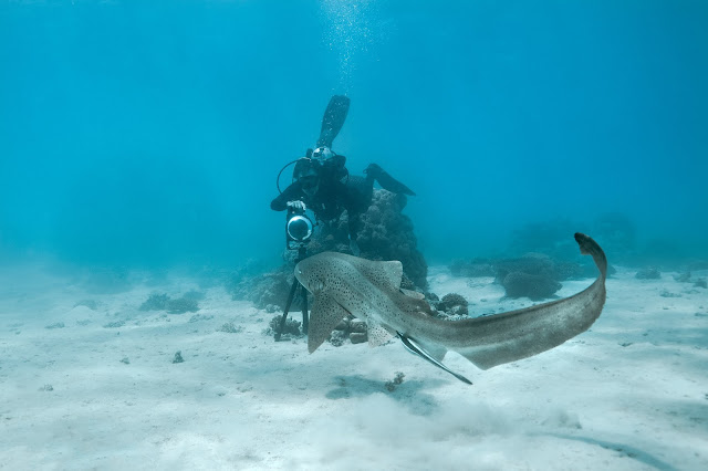Photo of Christophe Bailhache from Underwater Earth saying g'day to a leopard shark as he captures the Ningaloo Reef for Google Street View.