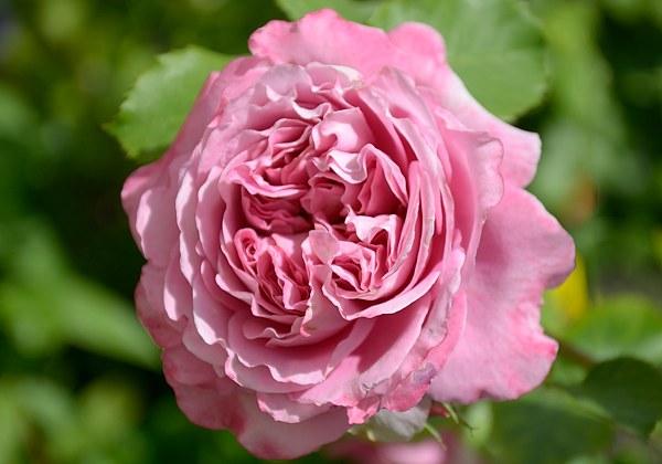 Agnes Schilliger rose