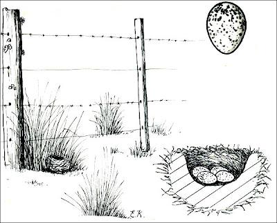 nido de Misto Sicalis luteola