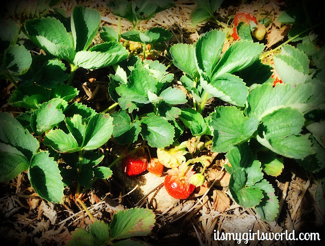 marcy's strawberry picking