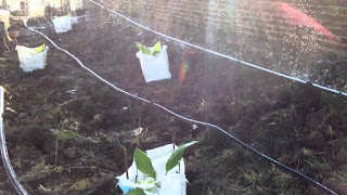 penyiraman tanaman pohon pisang