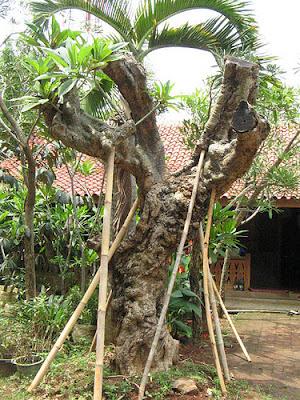 Kamboja Fosil murah