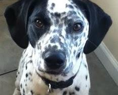 Beaglemation (Beagle Dalmatian mix) Temperament, Size, Adoption, Lifespan