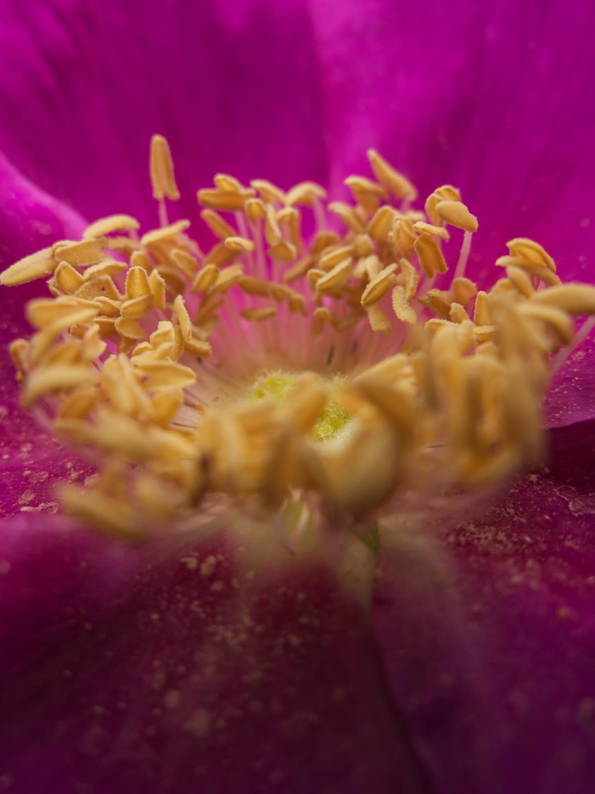 Macro of yellow anthers inside a pink Rose flower.