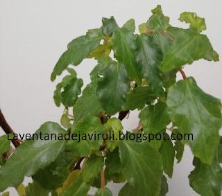 hojas-begonia-cubensis