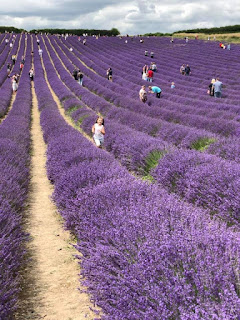 lordington lavender - dream1ncolour