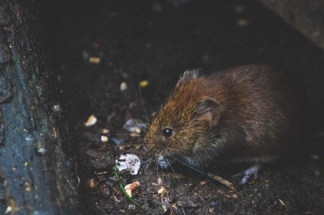 cara mengatasi tikus didalam rumah yang mengganngu