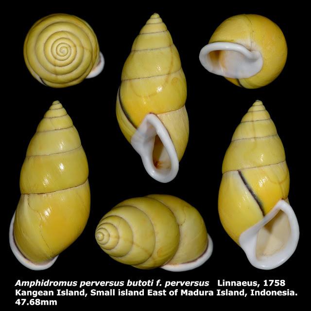 Amphidromus perversus perversus 47.68mm