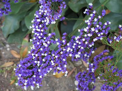 Siempreviva (Limonium arborescens) flor silvestre azul