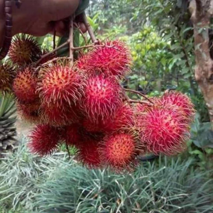 BIBIT RAMBUTAN RAPIAH GENJAH CEPAT BUAH Banten
