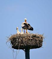 Direk üzerindeki bir kuş yuvasında anne leylek ve yavruları