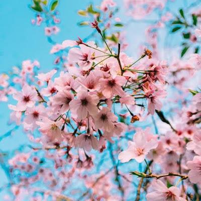 Bunga Sakura Mekar Paling Cepat Bikin Khawatir Ilmuwan