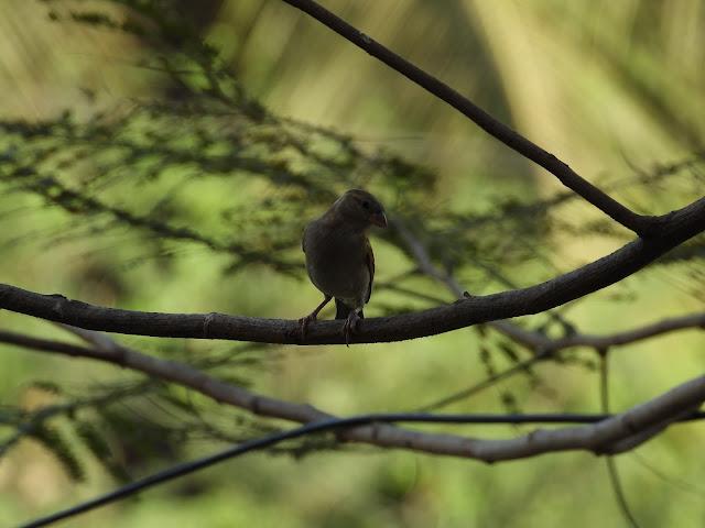 Sparrow - 6
