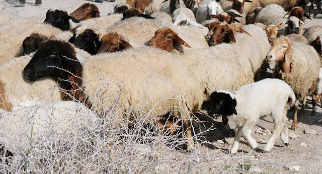 Armenia subvencionará cría de ovejas y cabras