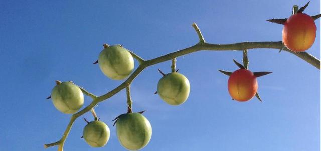 Coloração do fruto do Tomateiro (Tomate)