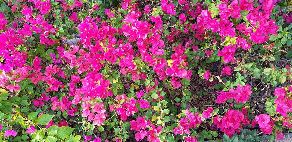 ดอกของต้นเฟื่องฟ้า